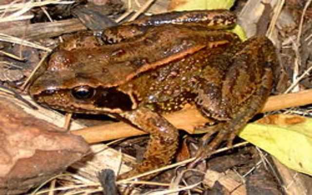Características sobre los Anuros, especies de ranas y sapos