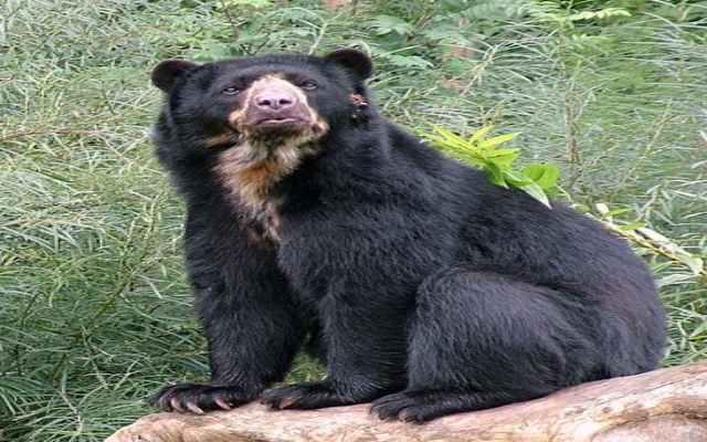 Curiosidades sobre el oso de anteojos