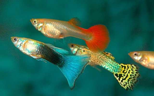 Los peces feos tienen mejor esperma