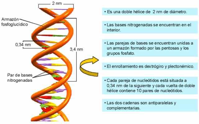 Qué es el modelo de la doble hélice del ADN